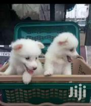 Young Male Purebred Samoyed | Dogs & Puppies for sale in Central Region, Kampala