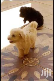 Young Male Purebred Havanese | Dogs & Puppies for sale in Central Region, Kampala