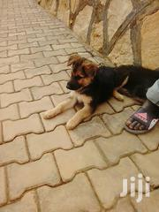 Young Female Purebred German Shepherd Dog | Dogs & Puppies for sale in Central Region, Kampala