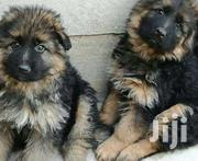 German Sherperd Pure Original Breed Puppies | Dogs & Puppies for sale in Central Region, Kampala