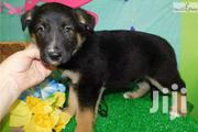 Baby Male Mixed Breed German Shepherd Dog | Dogs & Puppies for sale in Central Region, Kampala