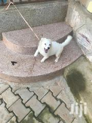 Young Female Purebred Maltese | Dogs & Puppies for sale in Central Region, Kampala