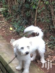Senior Male Purebred Maltese | Dogs & Puppies for sale in Central Region, Kampala