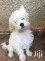 Baby Female Purebred Maltese | Dogs & Puppies for sale in Central Region, Mukono