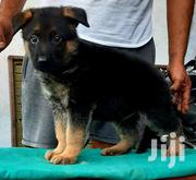 Baby Female Purebred German Shepherd | Dogs & Puppies for sale in Central Region, Kayunga