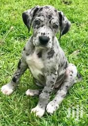 Baby Male Purebred Great Dane | Dogs & Puppies for sale in Central Region, Kampala