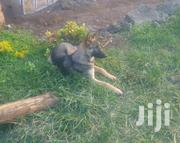 Young Male Mixed Breed German Shepherd | Dogs & Puppies for sale in Western Region, Kisoro