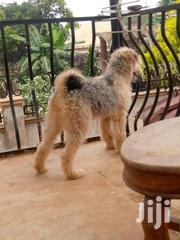 Young Male Purebred Old English Sheepdog | Dogs & Puppies for sale in Central Region, Wakiso