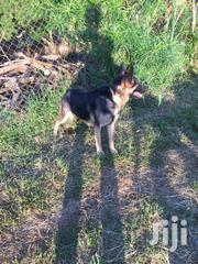 Senior Female Purebred German Shepherd | Dogs & Puppies for sale in Central Region, Kampala
