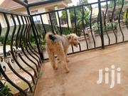 Young Male Purebred Icelandic Sheepdog | Dogs & Puppies for sale in Central Region, Wakiso