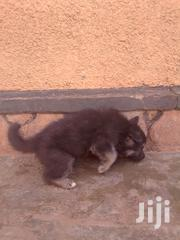 Baby Female Purebred German Shepherd | Dogs & Puppies for sale in Central Region, Kampala