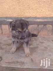 Baby Male Purebred German Shepherd | Dogs & Puppies for sale in Central Region, Kampala