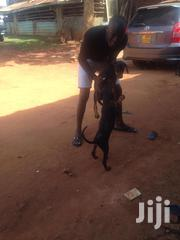 Young Male Purebred Doberman Pinscher | Dogs & Puppies for sale in Central Region, Wakiso