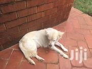 Young Female Purebred | Dogs & Puppies for sale in Central Region, Kampala