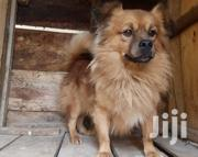 Adult Male Mixed Breed Pomeranian | Dogs & Puppies for sale in Central Region, Kampala