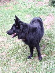 Adult Male Purebred German Shepherd | Dogs & Puppies for sale in Central Region, Kampala