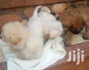 Young Male Mixed Breed Maltese | Dogs & Puppies for sale in Central Region, Wakiso