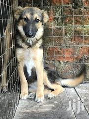 Adult Female Purebred German Shepherd | Dogs & Puppies for sale in Central Region, Kampala