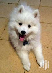 Japanese Spits White Original Puppies | Dogs & Puppies for sale in Central Region, Kampala