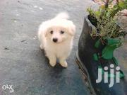 Japanese Spits White Lovely Puppies | Dogs & Puppies for sale in Central Region, Kampala
